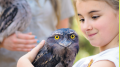 Tawny frogmouth at the Australian Reptile Park