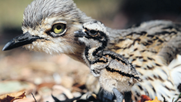 Mother Bush Stone Curlew with its chick
