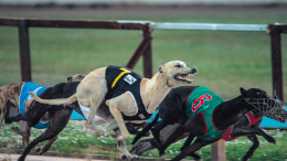 Greyhounds in full flight at Gosford track on October 11