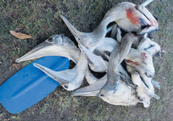 Infant pelicans mauled by dogs