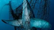 Image of a shark entangled in a shark net