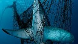 Image of a shark entangled in a shark net