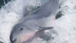 'Elusive' the beloved dolphin in happier days