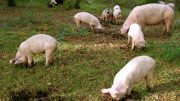 A number of piglets have been found by Council.