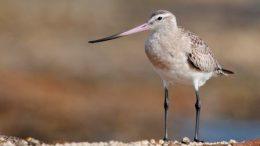The bar-tailed godwit Photo: Gerard Satherley