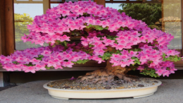 The Bonsai Society of the Central Coast is bringing Japanese culture to life in Gosford this September