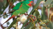 The Swift Parrot
