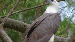 The White Bellied Sea Eagle