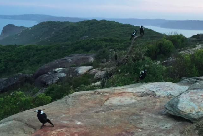 A family of magpies use the ancient geology of the Bouddi area as a stage.