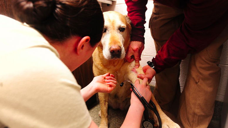 A dog being health checked and microchipped after a cut Image: Wikicommons: USMC-100115-M-9958W-001.jpg