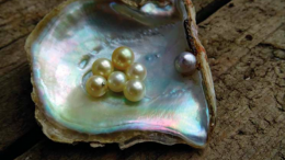 A clutch of Brisbane Water pearls