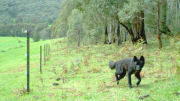 A wild dog caught on camera in Victoria. Image: Victorian Dept Agriculture