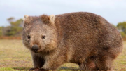 A common wombat. Image: Wiki commons