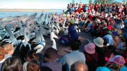 Pelican Feeding at The Entrance