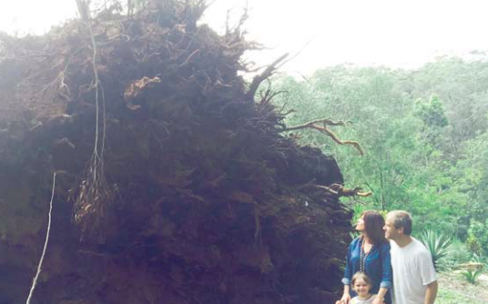 The tree that ended up in the living room of Member for Robertson, Ms Lucy Wicks