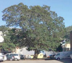 A fig tree on the site is a heritage item that may need preservation