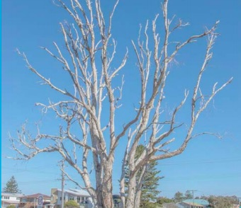 A dead tree in Mazlin Reserve. Poisoned by persons unknown.