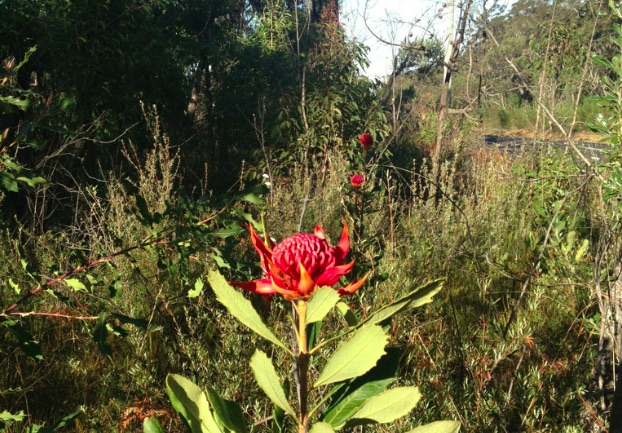 Waratahs near the road at Patonga. Image: DFA881 2013