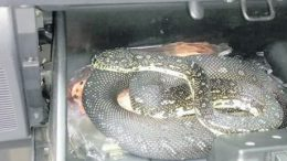 A diamond python found in the glovebox at Mangrove Mountain