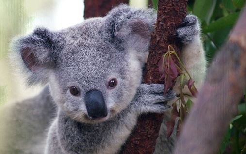 One of the koala babies at the Port Macquarie Koala Hospital. Image: Port Macquarie Koala Hospital