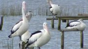 Pelicans at Woy Woy. Image: ABC Central Coast