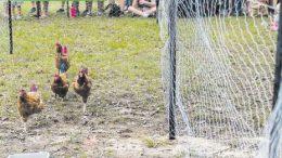 The Great Chicken Run