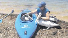 pelican researcher Ms Wendy Gillespie