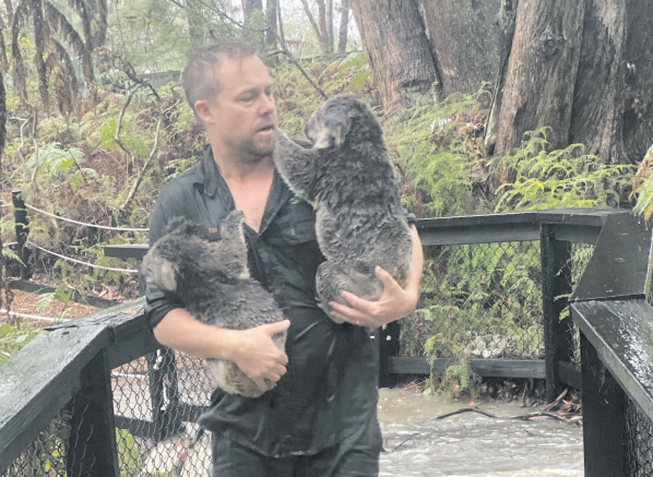 Park Director, Tim Faulkner, moves some koalas to shelter
